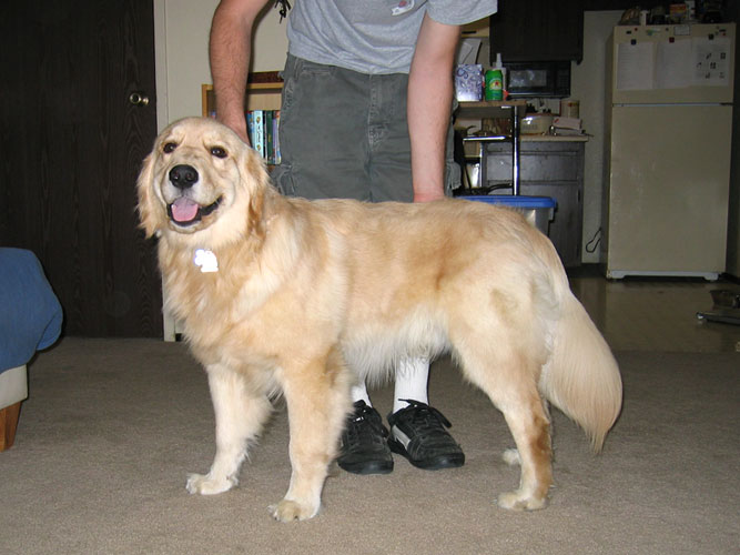 Amazing Golden Retriever Chubby Adorable Dog - now  Perfect Image Reference_3360  .jpg